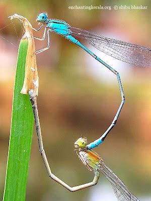 blue grass dart dragonfly