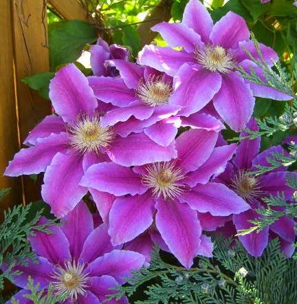 *Clematis aus unseren Garten*
