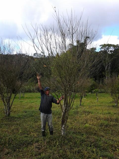 acer palmatum momiji para jardim japonês
