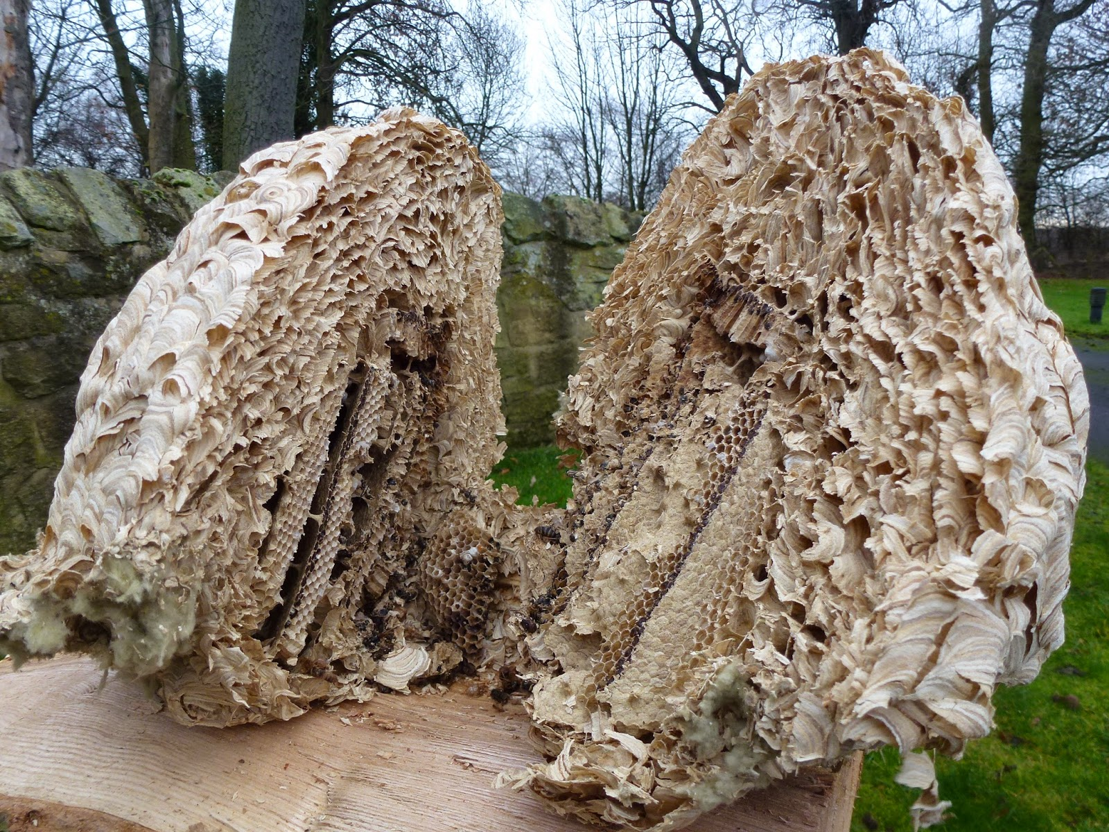 the wasps nest Read about ground wasps apperance, diet and behavior learn about ground wasps nests and life cycle orkin can help with professional removal.