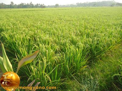 Sekitar 3 Mingguan lagi padi siap untuk dipanen