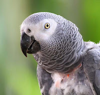 Smartest Animals On Earth african grey parrot