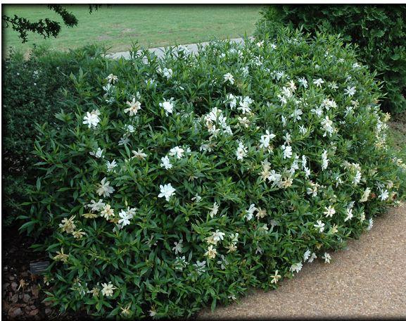 Gardenia Jasminoides U0027Radicans,u0027