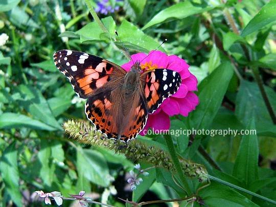Butterfly on a pink zinnia