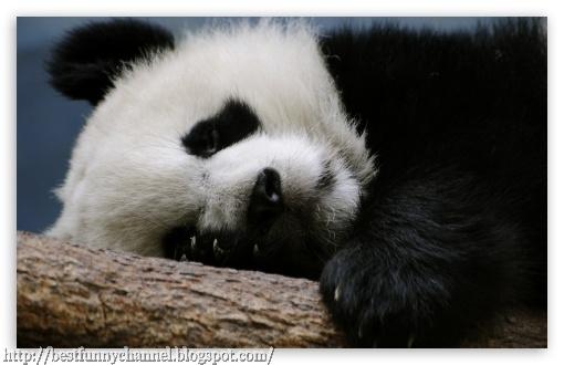 panda bears pictures 23