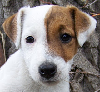 Jack Russell Puppy Images