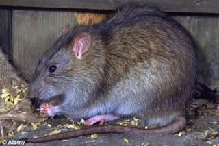 rata hombre muerde pene