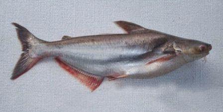 Tips Dan Trik Mancing Ikan Patin