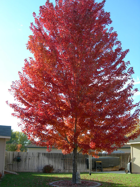 Beautiful picture of a maple tree in Marlene's backyard turning colors in the fall