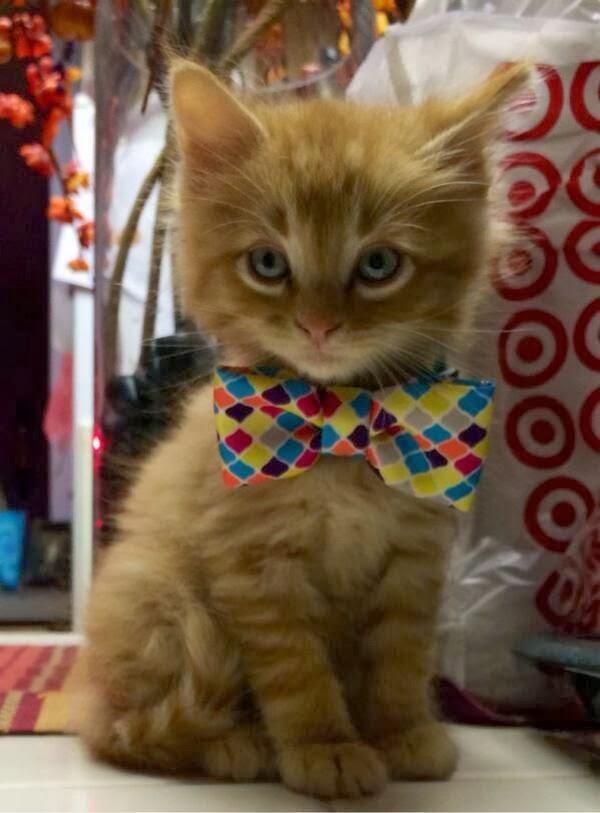 Funny cats - part 89 (40 pics + 10 gifs), kitten wears bowtie