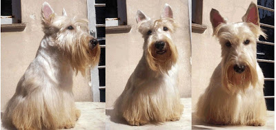 scottish terrier padreador