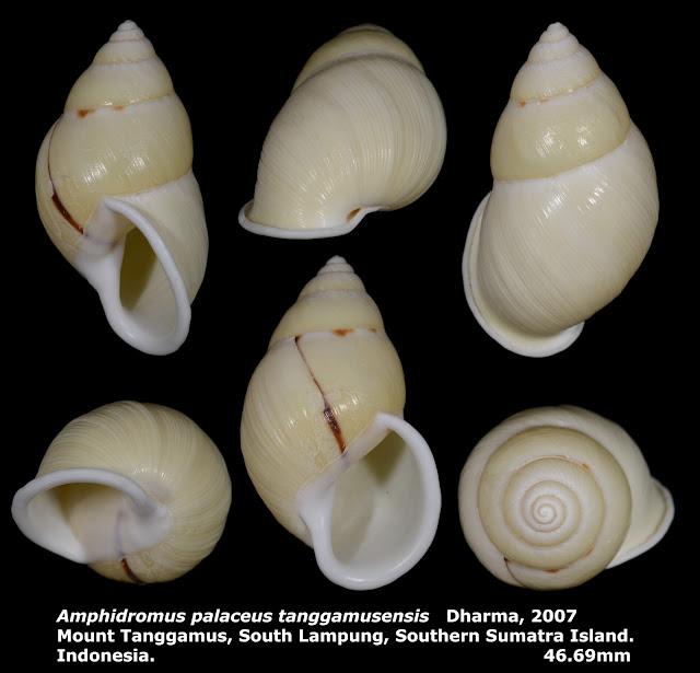 Amphidromus palaceus tanggamusensis 46.69mm