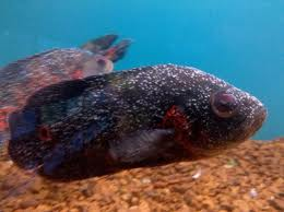 Awesome oscar cichlids oscar diseases for Fish ick treatment