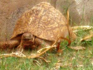 Tortoise at the Honey Badger Lodge