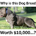 Ten Grand for American Bully Puppies
