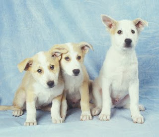 Cute Canaan Dog Puppy Pictures