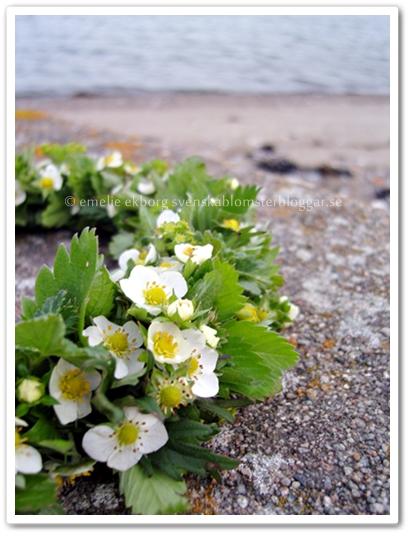 emelie ekborg flora inspiro, midsommarkrans, annorlunda midsommarkrans, smultronblommor, midsommarkrans med smultronblommor