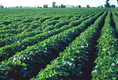 Soybeans - Source: http://agriculture.sc.gov/UserFiles/Image/soybeans7.jpg