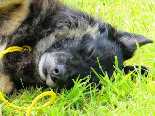 Trojan, German Shepherd Collie x