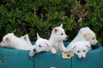 white shepherd dogs Germany