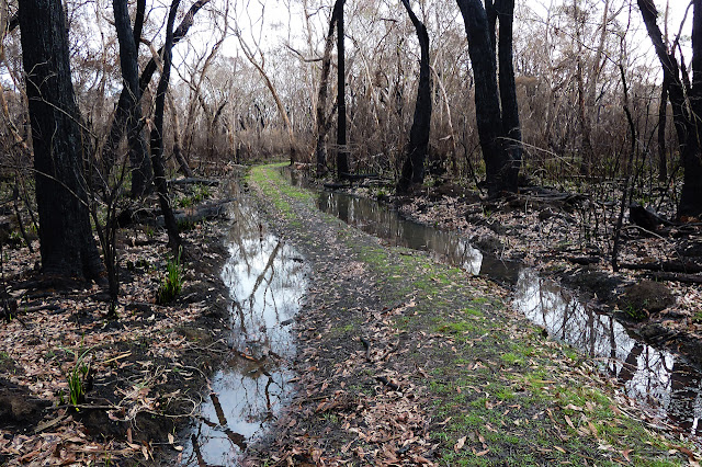 burnt trees in cobboboonee forest