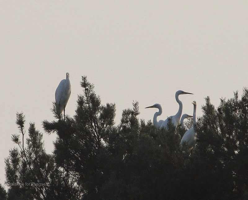 Great Egrets on a tree