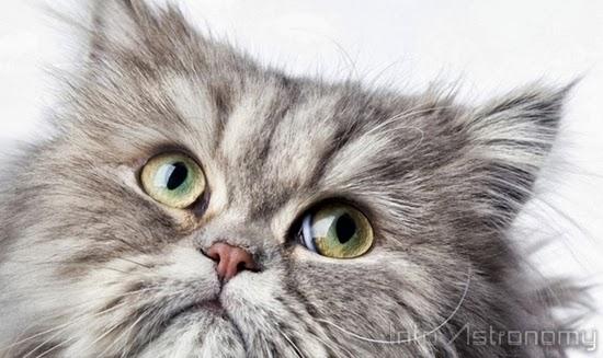 Iran Berencana Meluncurkan Kucing Persia ke Luar Angkasa