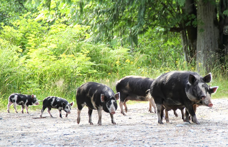 group of wild pigs