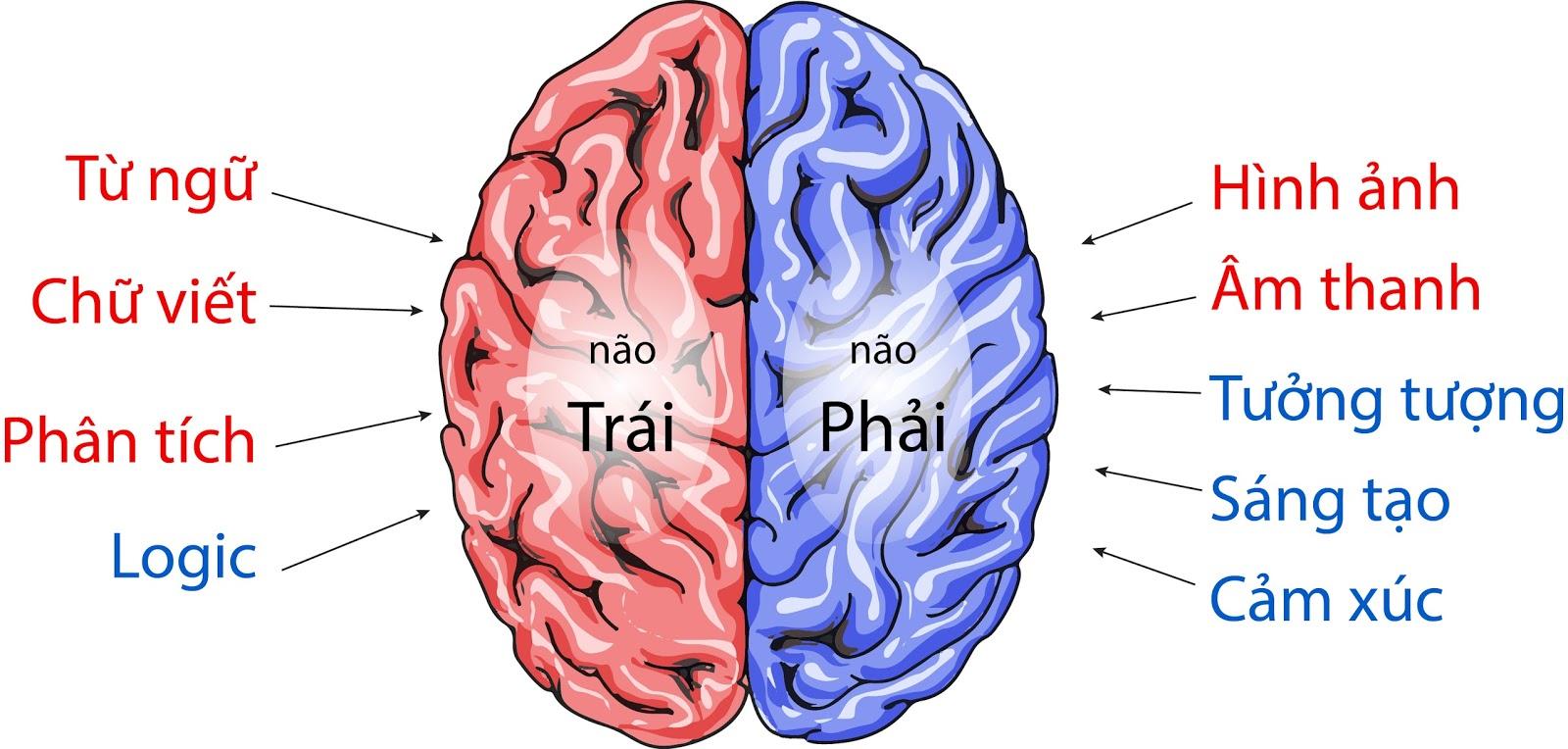 Kết quả hình ảnh cho hai bán cầu não