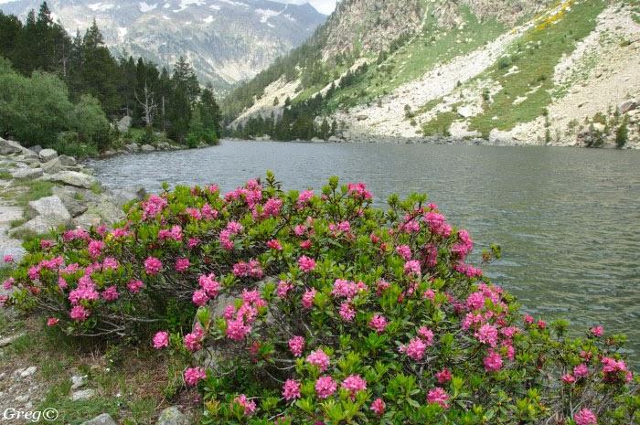 Flora silvestre de murcia rhododendron ferrugineum pirineos - Rododendro arbol ...