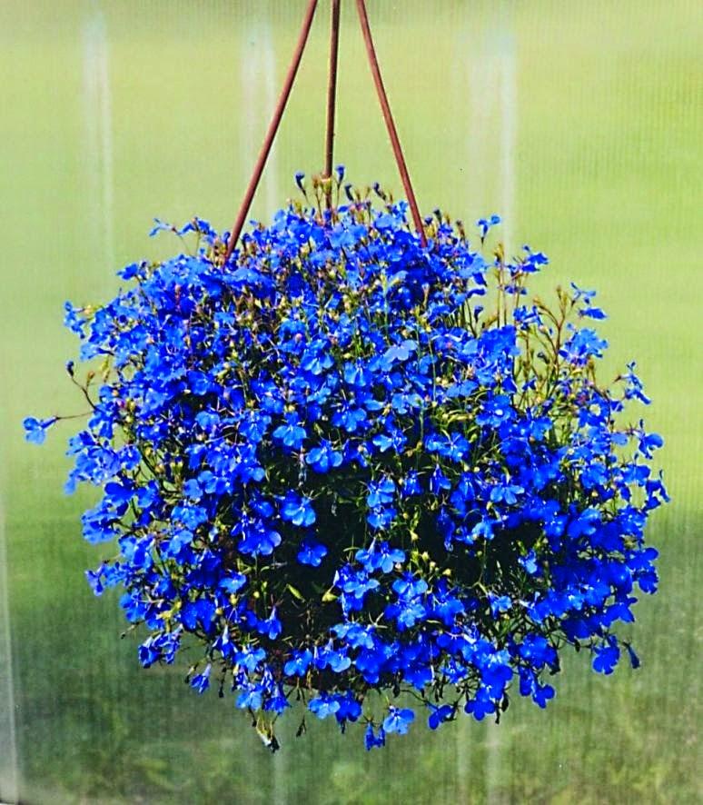plantas toxicas jardim:Planta é Essa?: Lobélia Azul.