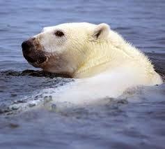 mamalia beruang