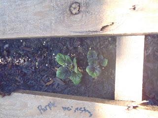 potato plants pallet garden