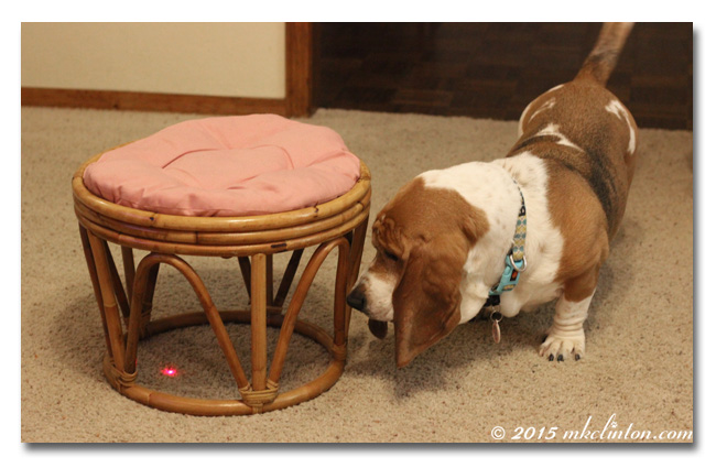 Basset Hound looking for red laser light under stool