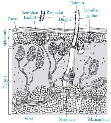 Berbagai reseptor pada kulit