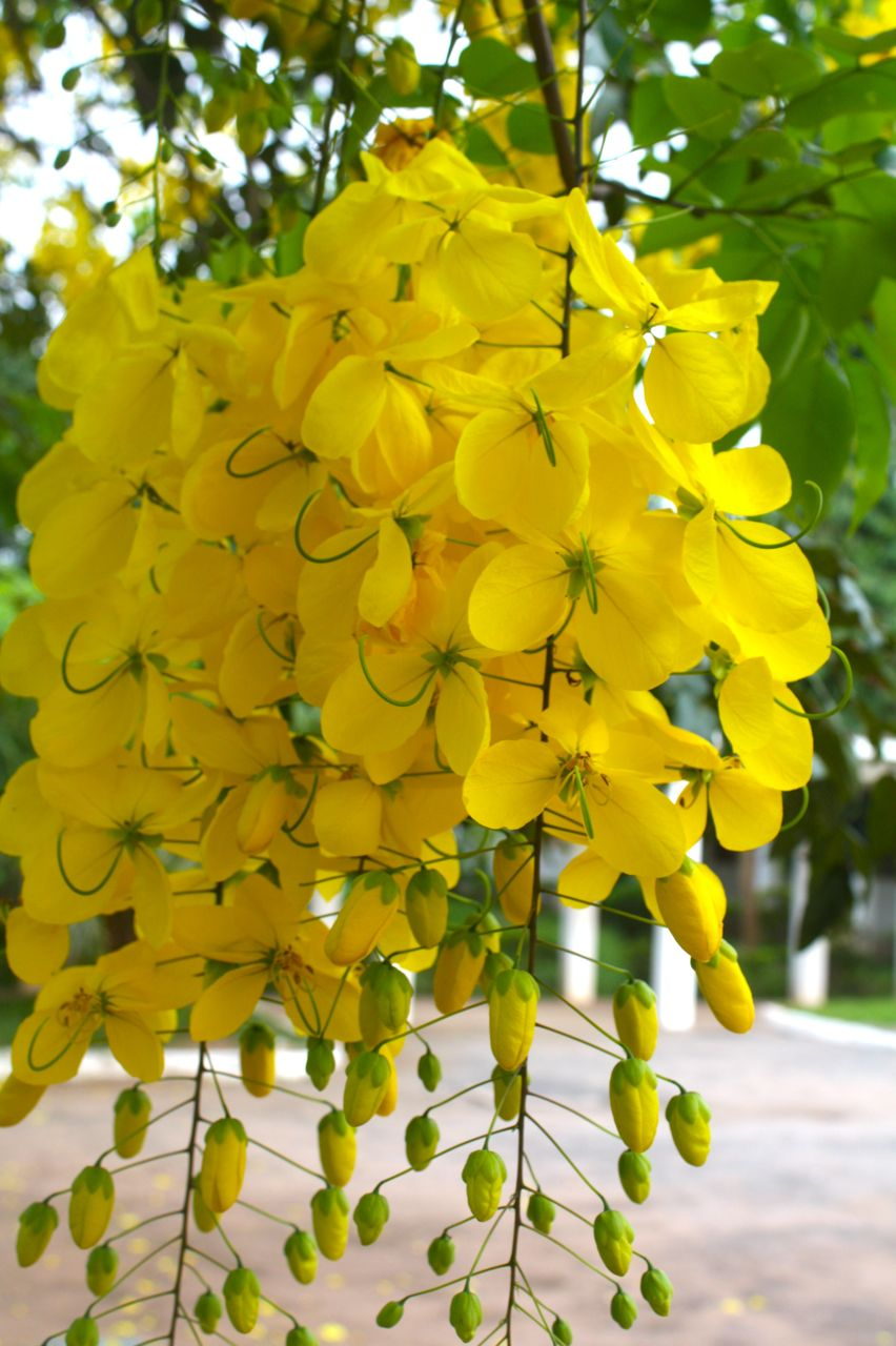 At home in ghana flowering trees the clusters of flowers like hanging lanterns can be about the size of my chest mightylinksfo