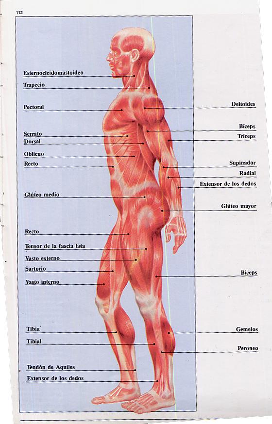 Moderno Músculos Humanos Etiquetados Bosquejo - Anatomía de Las ...