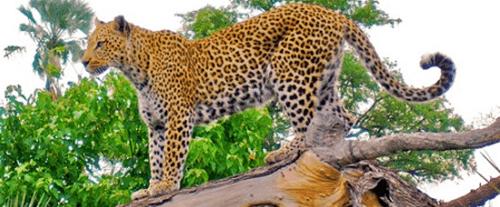maquillaje piel de leopardo