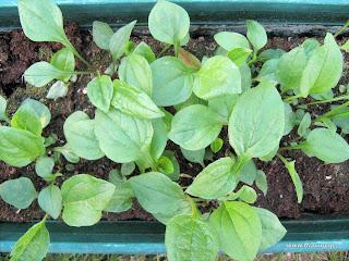 Εχινάτσεα σπορά φύτεμα καλλιέργεια