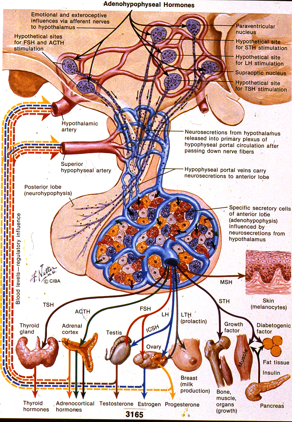 Natural Hormones Health Pituitary Gland