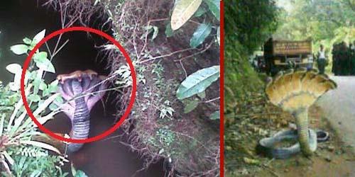 Ular Berkepala 7 di Sulawesi Selatan