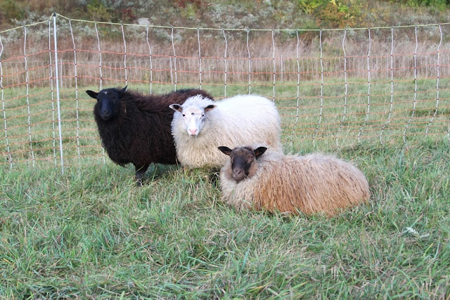 Litengård welcomes three new Icelandic ewes!