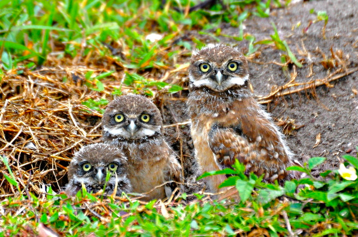 Small Owls Florida http://majikphil.blogspot.com/2012/05/florida-burrowing-owl-babies.html#!