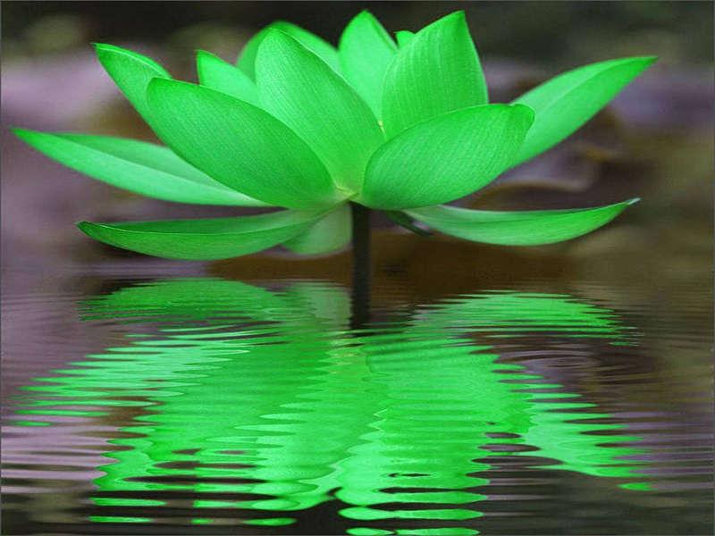 Inzicht in ons ware zelf, zoals de lotus smetteloos bovenkomt vanuit de modder.