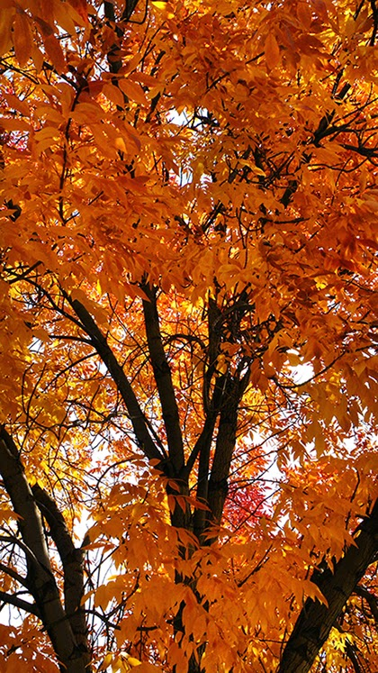 Looking up into a Large Yellow-Leaf Tree