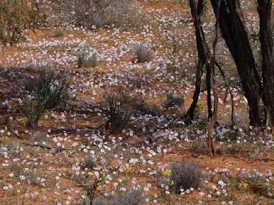 Pink Velleia (Velleia rosea)
