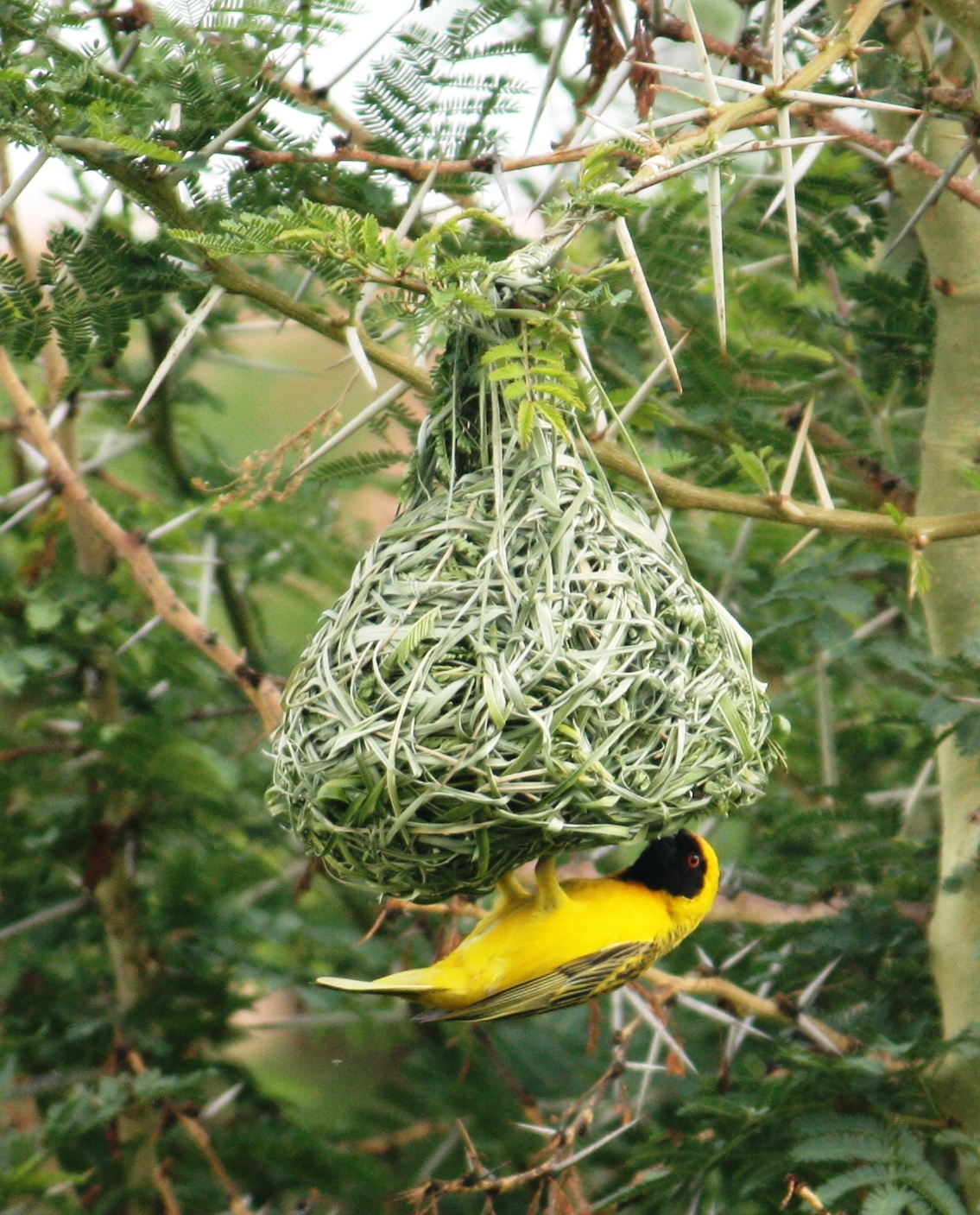 Weaver bird nest pictures - photo#1