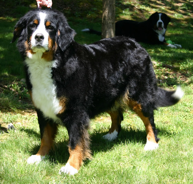 the-bernese-mountain-dog