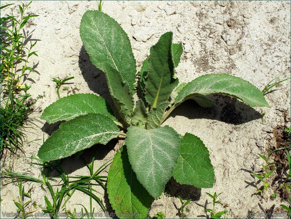 Verbascum phlomoides - Dziewanna kutnerowata rozeta liściowa