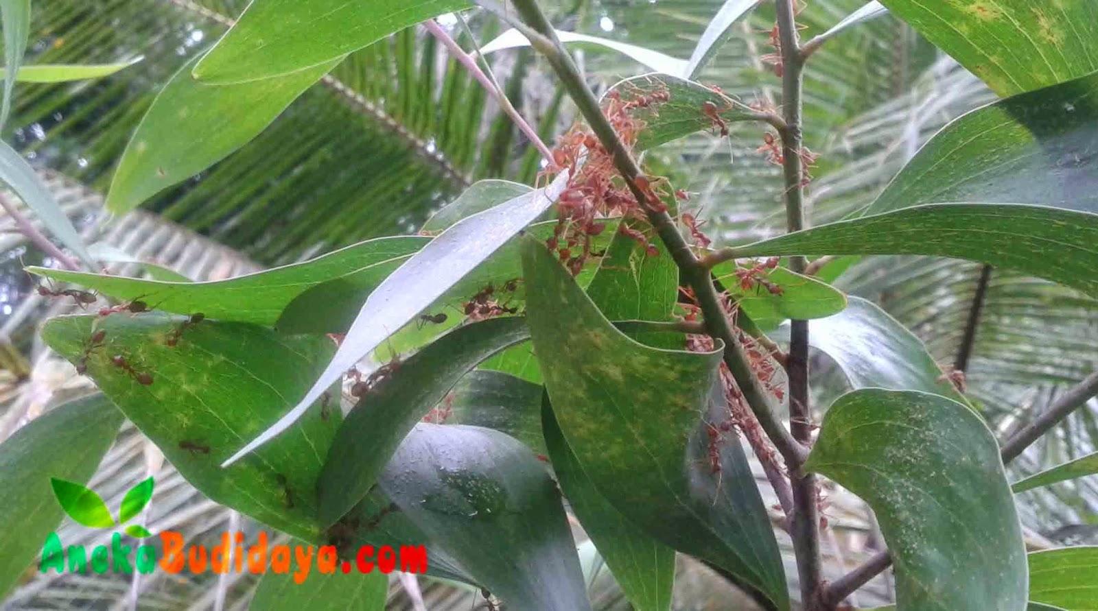 Pengertian Tentang Hewan Semut